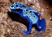 blue-dart-frog.jpg